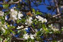 Butterfly in an apple tree