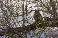 Great horned owl watching me